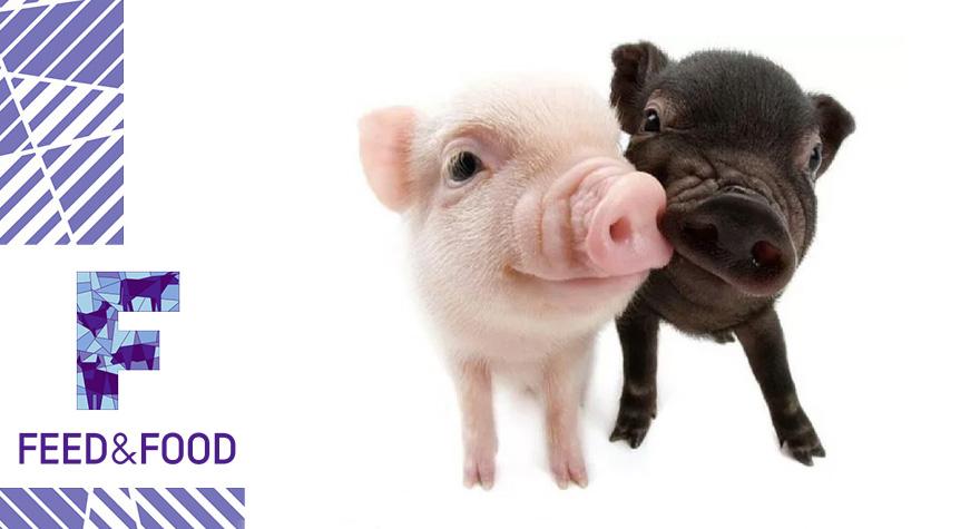 Чем полезны кормовые добавки для свиней
