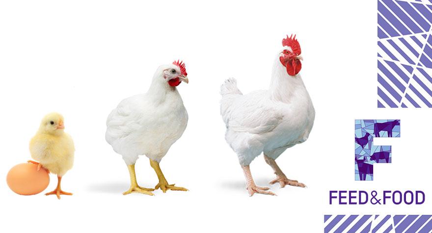 Афлотоксины и адсорбенты микотоксинов в птицеводстве