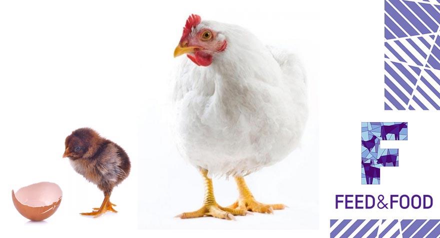 Чем полезны Ферментные препараты для птиц